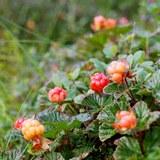 Морошка — моховая смородина, северный апельсин, арктическая малина